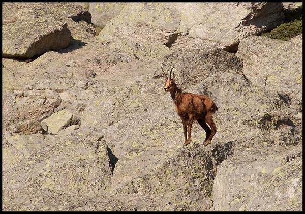 Diva koza