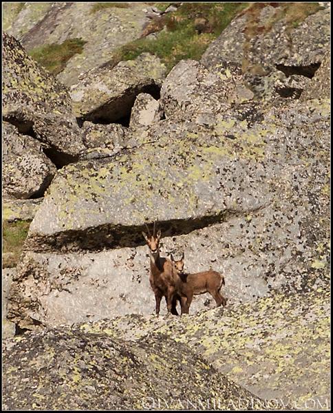 Divi kozi
